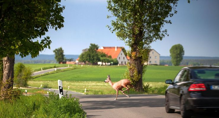 Landstraße, Bäume, Allee, Unfall, Wildwechsel